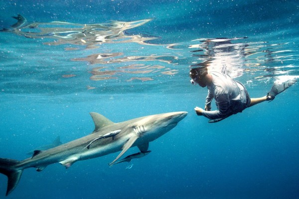 Captain Bryce Rohrer swims with a large dusky shark.